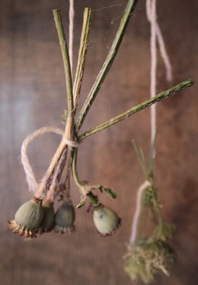 Poppy pods dried and hanging - Pagan Council Network
